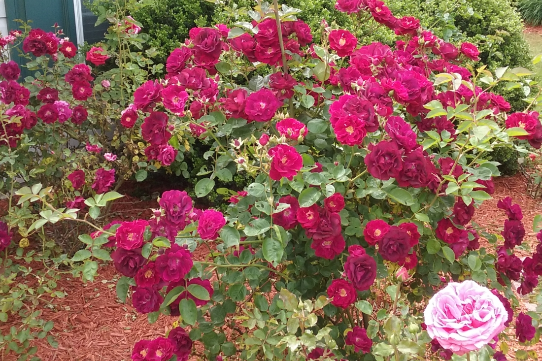 The rose bush is ragged and full of beautiful blooms.
